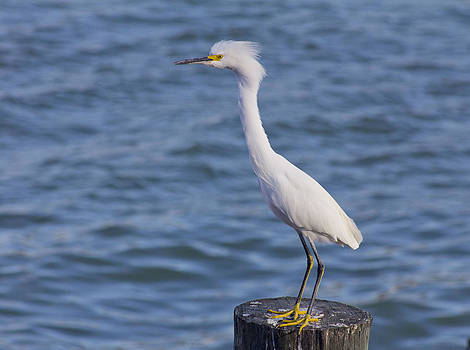 Egret at Johns Pass by Bridget Finn
