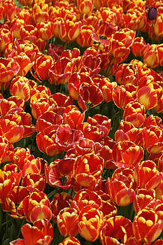 Michele Burgess - Flaming Tulips