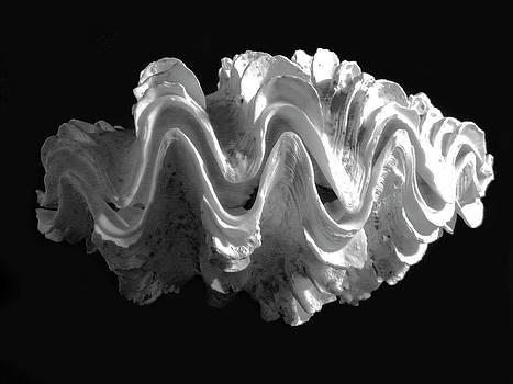 Frank Wilson - Giant Frilled Clam Seashell Tridacna squamosa