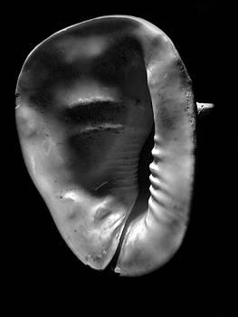 Frank Wilson - Horned Helmet Shell Cassis cornuta