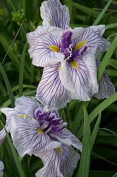 Japanese Iris by Sandy Collier