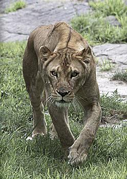 Lioness by Yosi Cupano