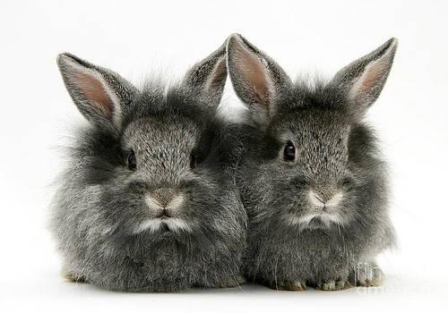Jane Burton - Lionhead Rabbits
