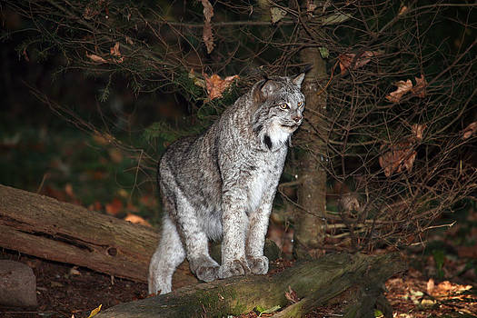 Lynx Alert by Wildcat Photography