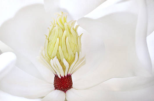Magnolia Grandiflora by Mariola Szeliga