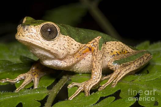 Dante Fenolio - Monkey Frog