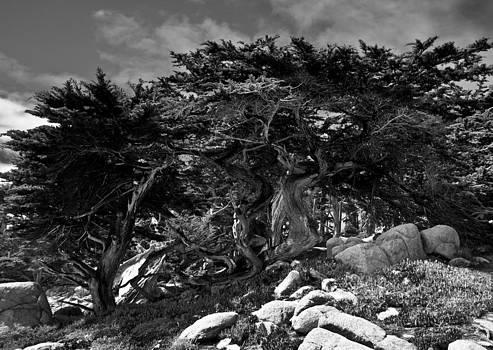 Monterey Cypress  by Jim Ross