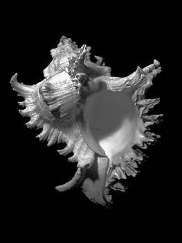 Frank Wilson - Murex Ramosus Seashell