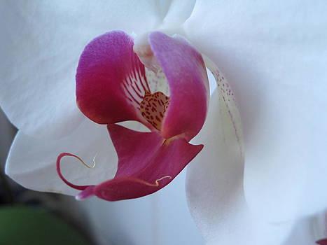 Orchid by Sandra  Rohmann