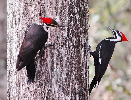 Pileated Woodpeckers by David Campione