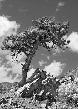 Pine Tree by Mariola Szeliga