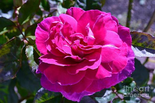 Pink by Saifon Anaya