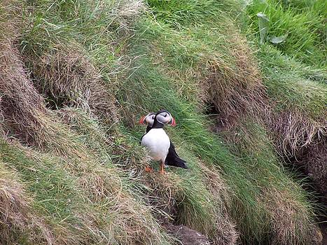 Puffins by George Leask