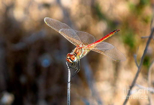 John Chatterley - Red Dragonfly