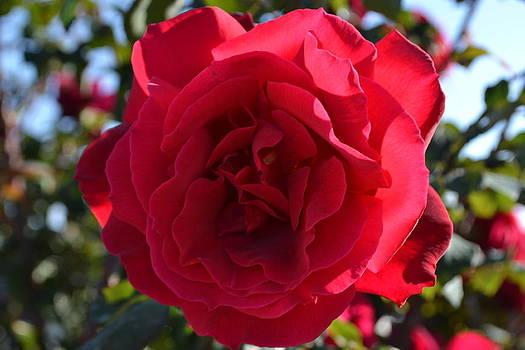 Red Rose by Saifon Anaya