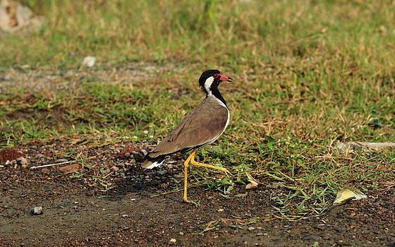 Red wattled Lapwing by Rahul Manglekar