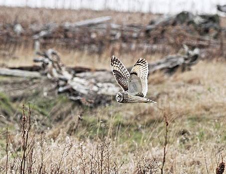 Short Eared Owl In Flight by Daryl Hanauer