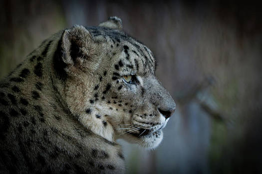 Roger Mullenhour - Snow Leopard