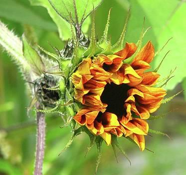Sunflower by Sandra  Rohmann