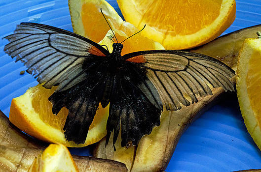 Swallowtail by Cheryl Cencich