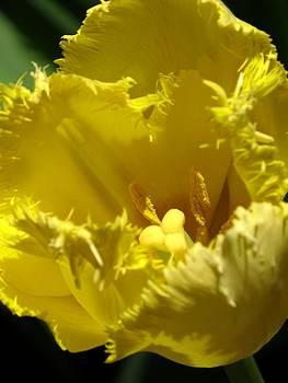 Alfred Ng - yellow tulip
