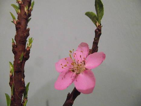 1st Blossom by Rani De Leeuw
