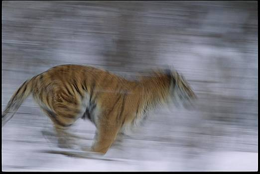 A Siberian Tiger At The Minnesota by Michael Nichols