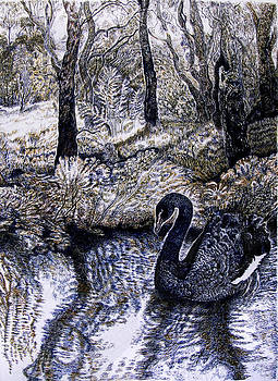 Black Swan Gliding no 2 by Helen Duley