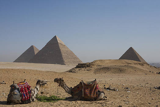 Camels At The Great Pyramids At Giza by Taylor S. Kennedy