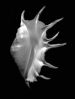 Frank Wilson - Giant Spider Conch Seashell Lambis truncata