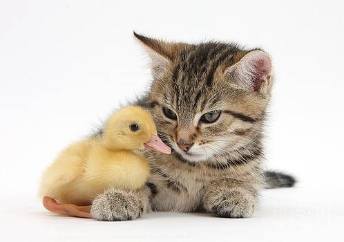Mark Taylor - Kitten And Duckling