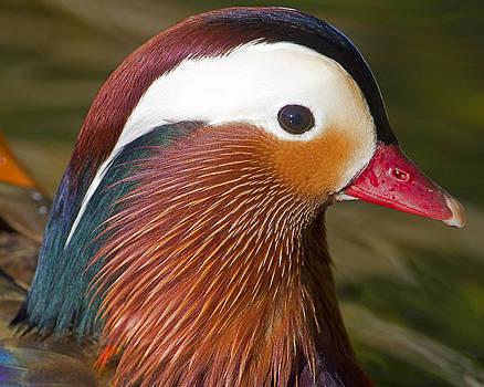 Mandarin Duck by Sasse Photo
