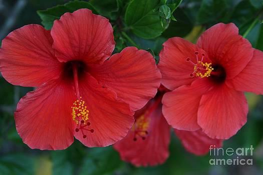 Red Hibiscus by Freda Sbordoni