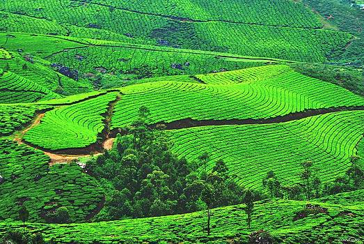 Tea Garden by Vinod Nair