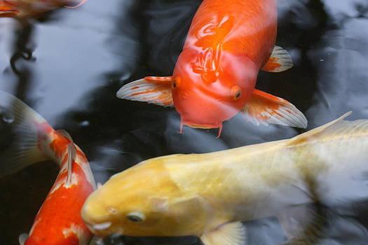 Wakin Goldfish by Gonca Yengin