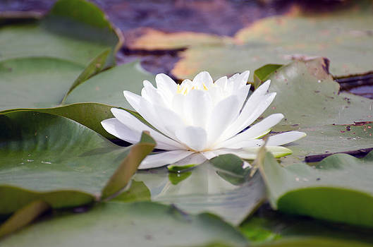 Water lily by Cheryl Cencich
