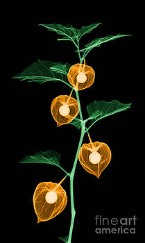 Ted Kinsman - X-ray Of Chinese Lantern Plant