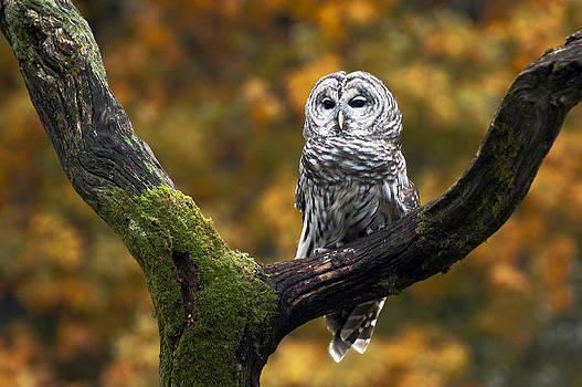 Barred owl by Cheryl Cencich