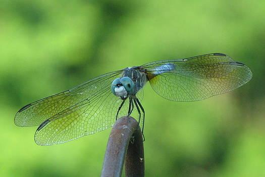 Dragonfly by Barbara Ferreira