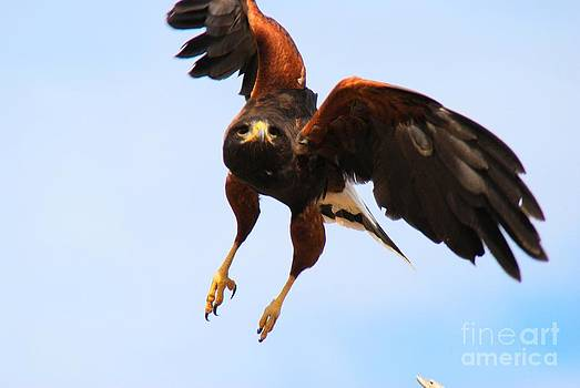 Tam Ryan - Harris Hawk
