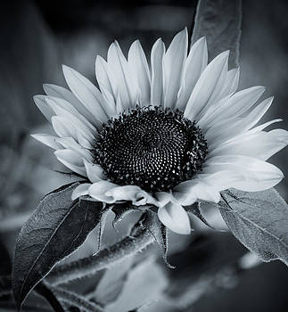 Sunflower by Imagevixen Photography
