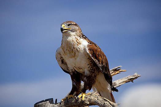Ferriginous Hawk by Dan Nelson