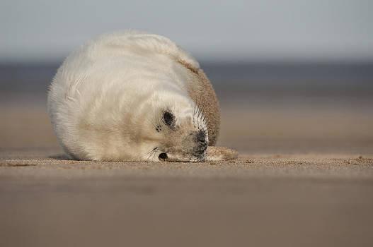 Grey Seal Pup by Andy Astbury