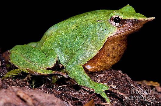 Dante Fenolio - Darwins Frog
