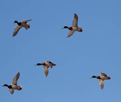 5 Mallard Ducks by Sam Amato