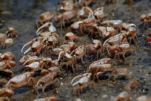 Fiddler crabs by David Campione