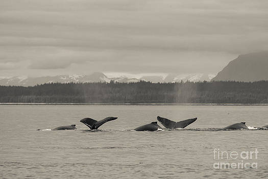 Darcy Michaelchuk - A Busy Humpback Pod