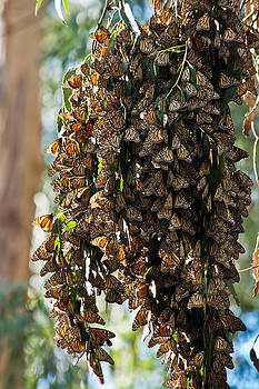 Roger Mullenhour - A Cluster Of Monarchs