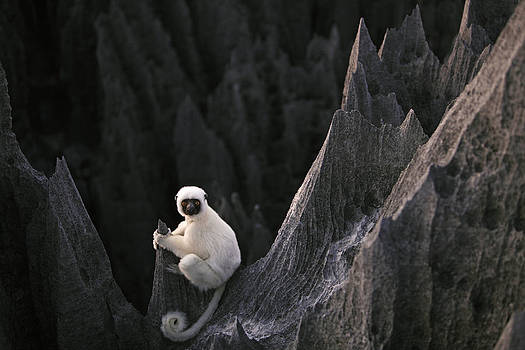 A Deckens Sifaka Lemur In The Grand by Stephen Alvarez