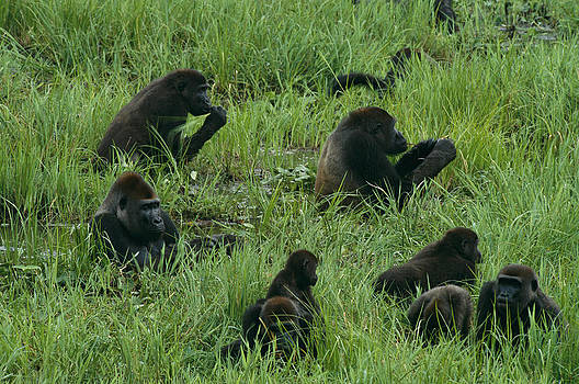 A Gorilla Family Feeding And Resting by Michael Nichols